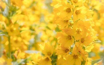 цветы, макро, желтые, боке, соцветие, вербейник