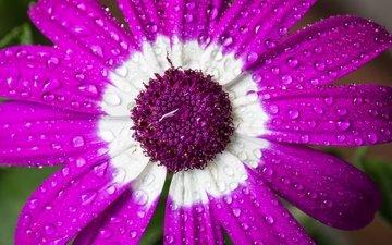 макро, цветок, капли, лепестки, цинерария