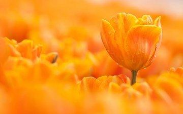 макро, цветок, капли, оранжевый, тюльпан