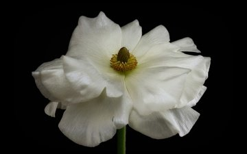 макро, фон, цветок, лепестки, белый, ранункулюс, лютик
