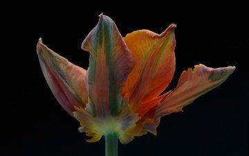 макро, фон, цветок, лепестки, черный фон, тюльпан