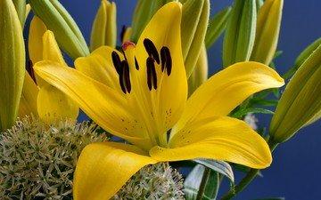 цветы, макро, фон, лилии, желтые