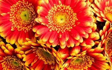 цветы, макро, лепестки, гербера