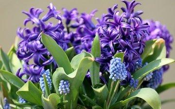 цветы, макро, весна, гиацинт, мускари