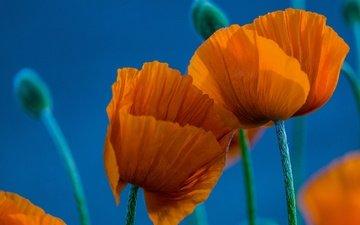 цветы, макро, лепестки, маки, голубой фон, оранжевые, дуэт
