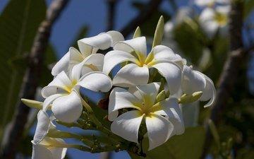 цветы, макро, лепестки, соцветие, плюмерия, бутончики
