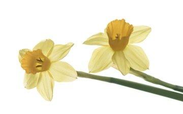 цветы, макро, лепестки, весна, белый фон, нарцисс