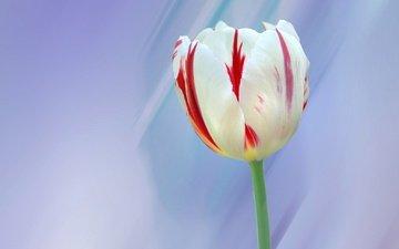 макро, цветок, лепестки, весна, тюльпан