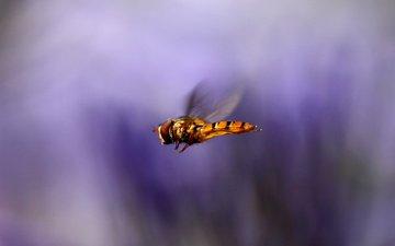 макро, насекомое, полет, крылья, размытость, муха