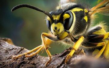 макро, насекомое, усы, крылья, лапки, оса