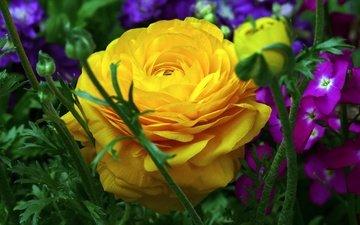 цветы, макро, лепестки, ранункулюс, лютик, левкой