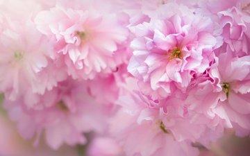 цветение, макро, весна, розовый, сакура