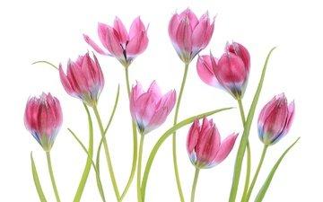 цветение, макро, весна, тюльпаны, розовые, белый фон