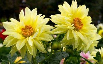 цветы, макро, желтые, георгины
