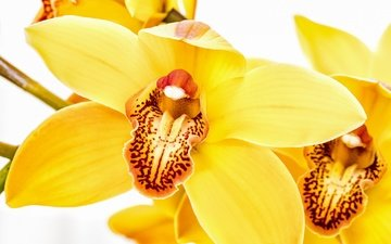 цветы, макро, белый фон, желтые, орхидеи