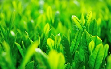 grass, nature, greens, plants, leaves, macro, background