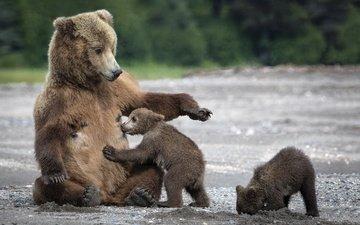 мишки, мама, медведи, медведица, медвежата