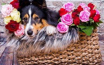 морда, цветы, розы, взгляд, собака, корзина, шелти, шетландская овчарка