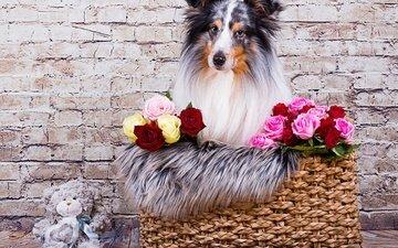 морда, цветы, розы, взгляд, стена, собака, игрушка, корзина, медвежонок, плюшевый мишка, шелти, шетландская овчарка