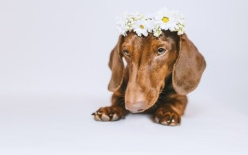 морда, цветы, собака, белый фон, такса, венок