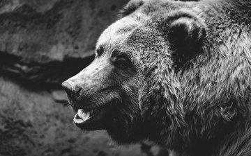 морда, фон, шерсть, взгляд, медведь, чёрно-белое, пасть