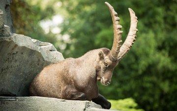 морда, камни, рога, козел, горный козел, ибекс, альпийский козерог