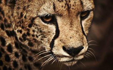 face, cat, leopard, spot, nose