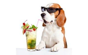 морда, напиток, лапы, очки, стол, юмор, белый фон, коктейль, стакан, трубочка, бассет-хаунд