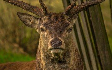 морда, олень, взгляд, рога, нос