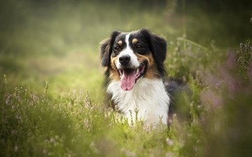 face, grass, dog, language, bokeh, heather, australian shepherd, aussie