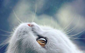 eyes, face, mustache, wool, cat, look, bokeh