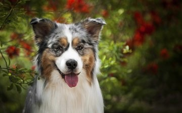 face, look, dog, language, australian shepherd, aussie