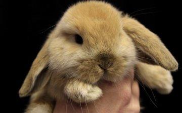 глаза, мордочка, взгляд, кролик, милый