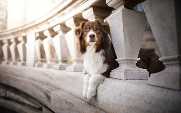 глаза, мордочка, мост, взгляд, собака, пес, боке, кейли, австралийская овчарка, dackelpuppy