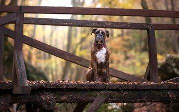 листья, мост, взгляд, осень, собака, друг, боксер