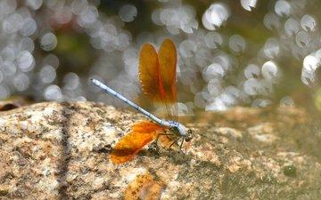 насекомое, крылья, блики, стрекоза