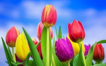 небо, цветение, бутоны, капли, разноцветные, весна, тюльпаны