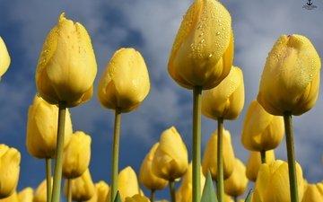 небо, цветы, бутоны, весна, тюльпаны, желтые