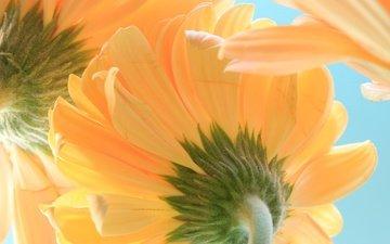 the sky, macro, petals, gerbera