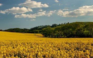 небо, цветы, облака, деревья, поле, рапс