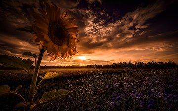 небо, цветы, облака, ночь, поле, подсолнух