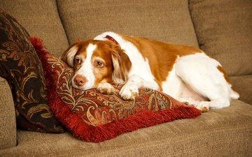 подушки, собака, лежит, отдыхает, диван, спаниель