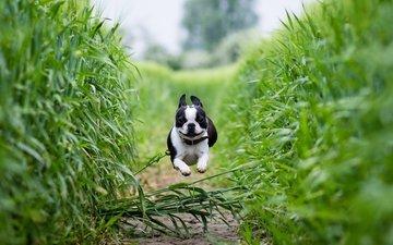 field, dog, path, running, boston terrier