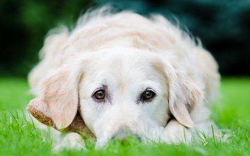 поле, взгляд, собака, лежит, травка, золотистый ретривер