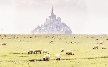 поле, замок, франция, дымка, монастырь, овцы, нормандия, мон-сен-мишель