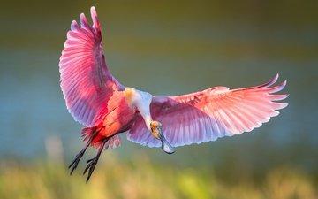 полет, крылья, птица, клюв, перья, ибис, розовая колпица
