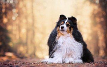 портрет, собака, боке, шелти, шетландская овчарка