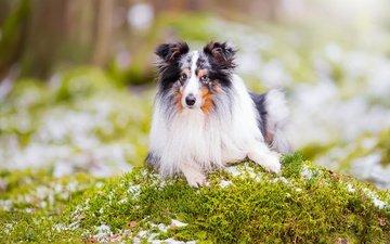портрет, взгляд, собака, боке, шелти, шетландская овчарка