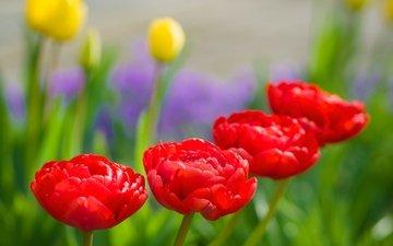 природа, бутоны, макро, лепестки, сад, весна, тюльпаны, karsten gieselmann