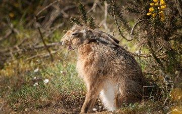 природа, фон, заяц